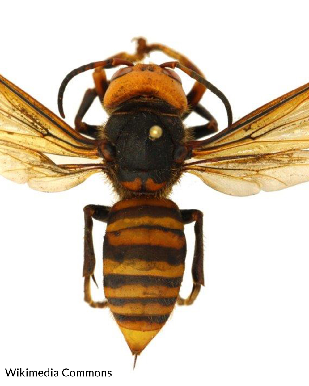 A dorsal view of a dead displayed, lighter colored variant Giant Asian hornet.
