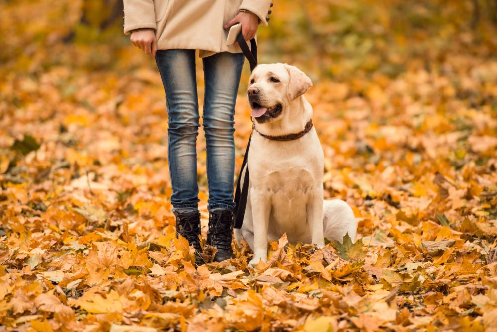 Dog on a walk with his human in the leaves