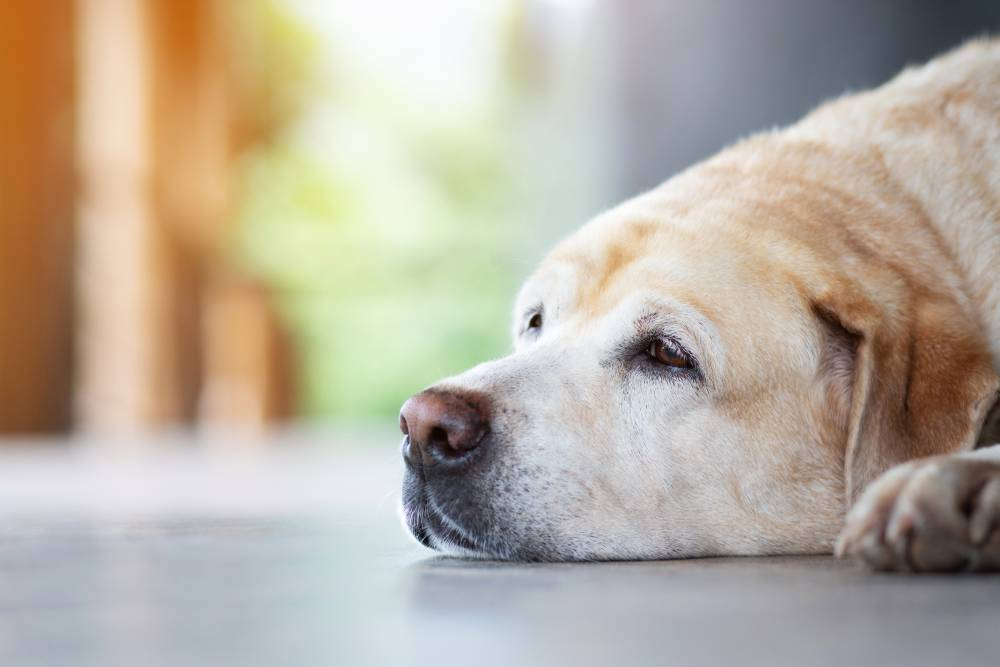 Older dog laying down while tired