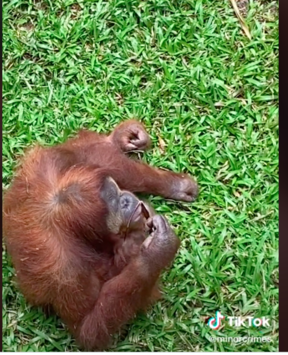 Orangutan At Indonesia Zoo Is Going Viral For Wearing Sunglasses Accidentally Dropped In Enclosure