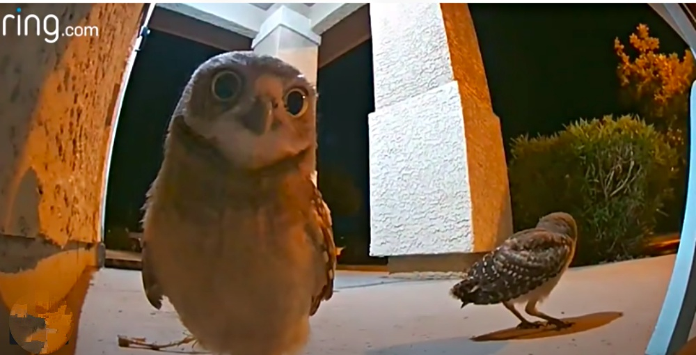 Three Owls Have A Hoot On Family's Front Porch And It Was All Captured On Doorbell Camera