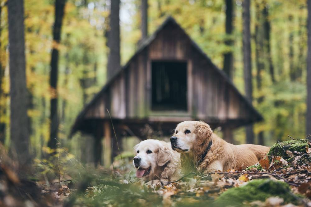 Two old dogs in the woods