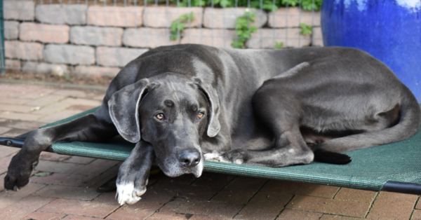 Great Dane Refuses To Let Owner Fall Asleep So Man Pretends To Snore