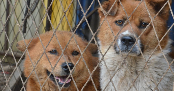 Humane Society Rescues 60+ Dogs From Meat Farm In South Korea