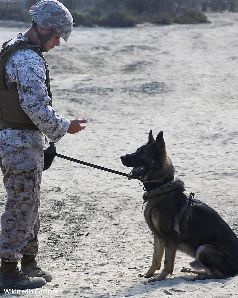 Cpl. Jeremiah Gerber of the Military Working Dog Platoon, Headquarters and Support Company, 1st Law Enforcement Battalion, I Marines Expeditionary Force, performs obedience and control drills with his drug detection dog.