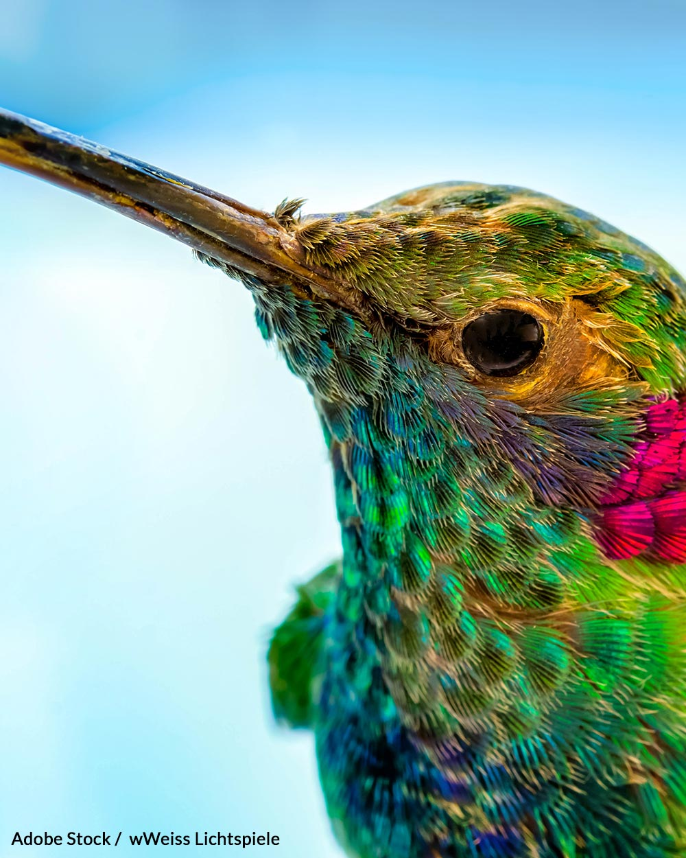 Worldwide, about 10% of all hummingbirds are facing extinction.