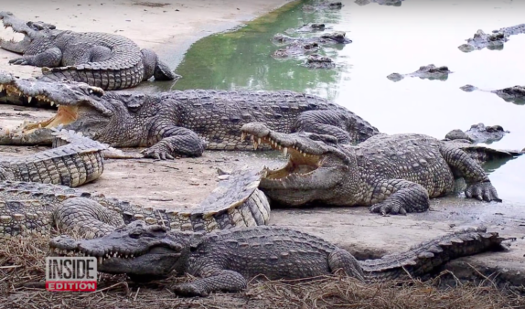 Critically Endangered Crocodile Species Found By Wildlife Researchers