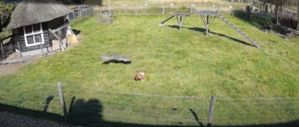 Video Captures Goat And Rooster Rushing To Save Chicken From Hawk Attack