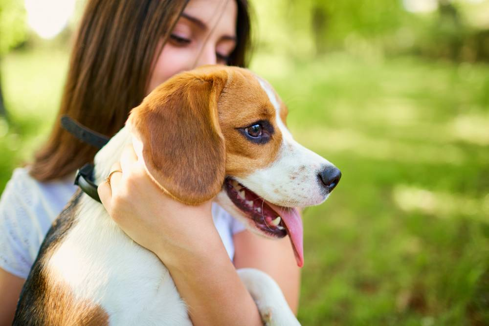 Beagle puppy being held by his human