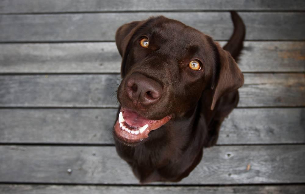 Closeup of labrador dog