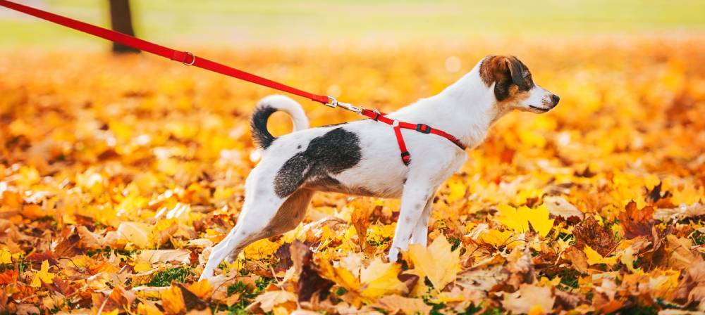 Dog playing in leaves on leash