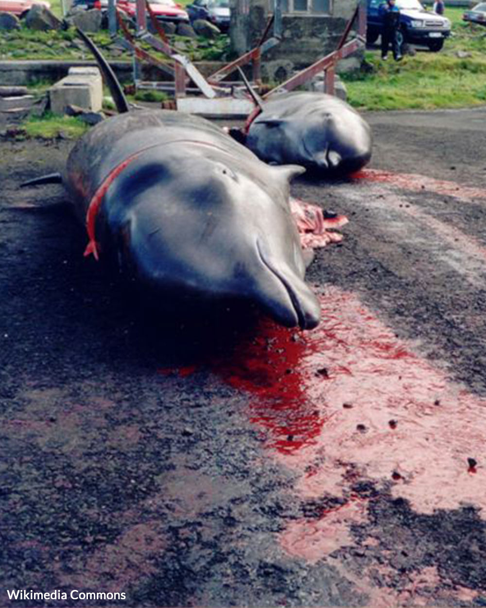 Dolphins and pilot whales are slaughtered in the annual hunt.