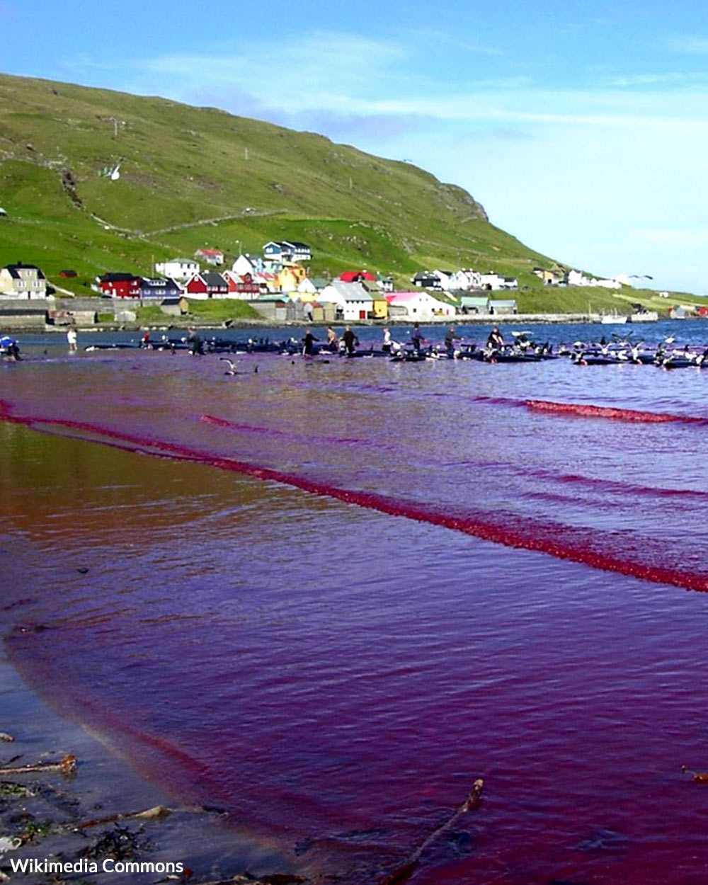 The waters near the Faroe Islands turn red with blood during the annual hunt.