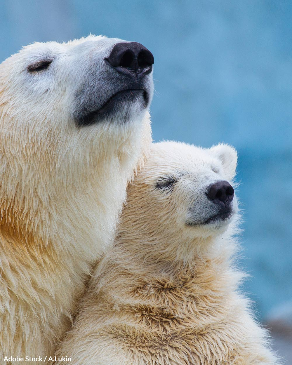Some studies predict polar bears could go extinct by 2100.