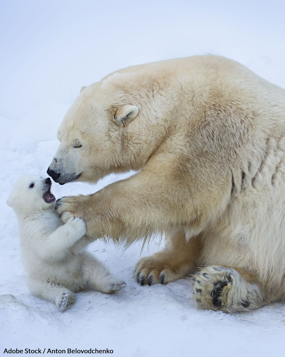 Polar bears cannot survive without ice caps on which to hunt and make homes.