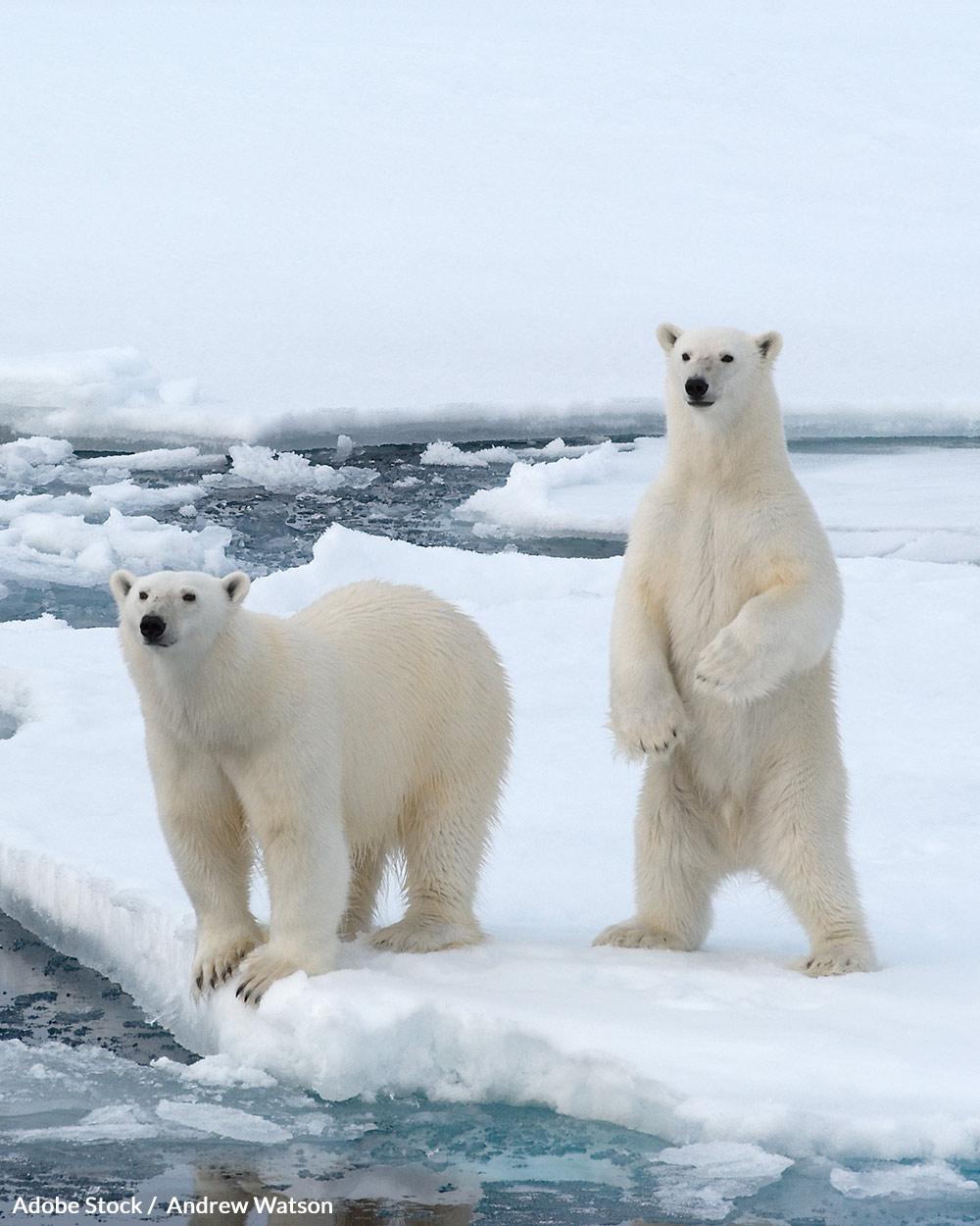 Help ensure that polar bears have a future!