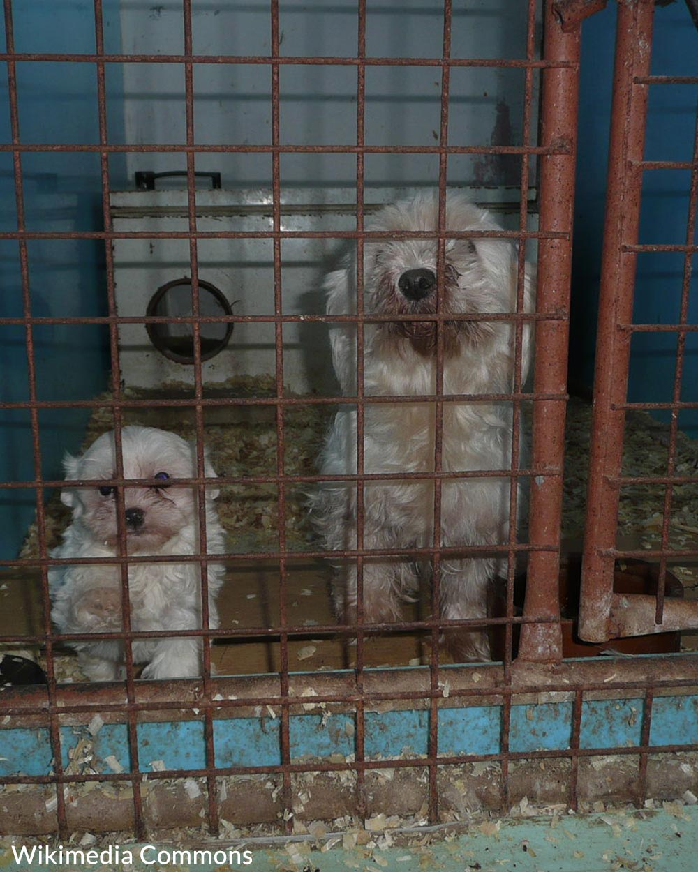 Animals in puppy mills are often raised with care for sanitation or health.