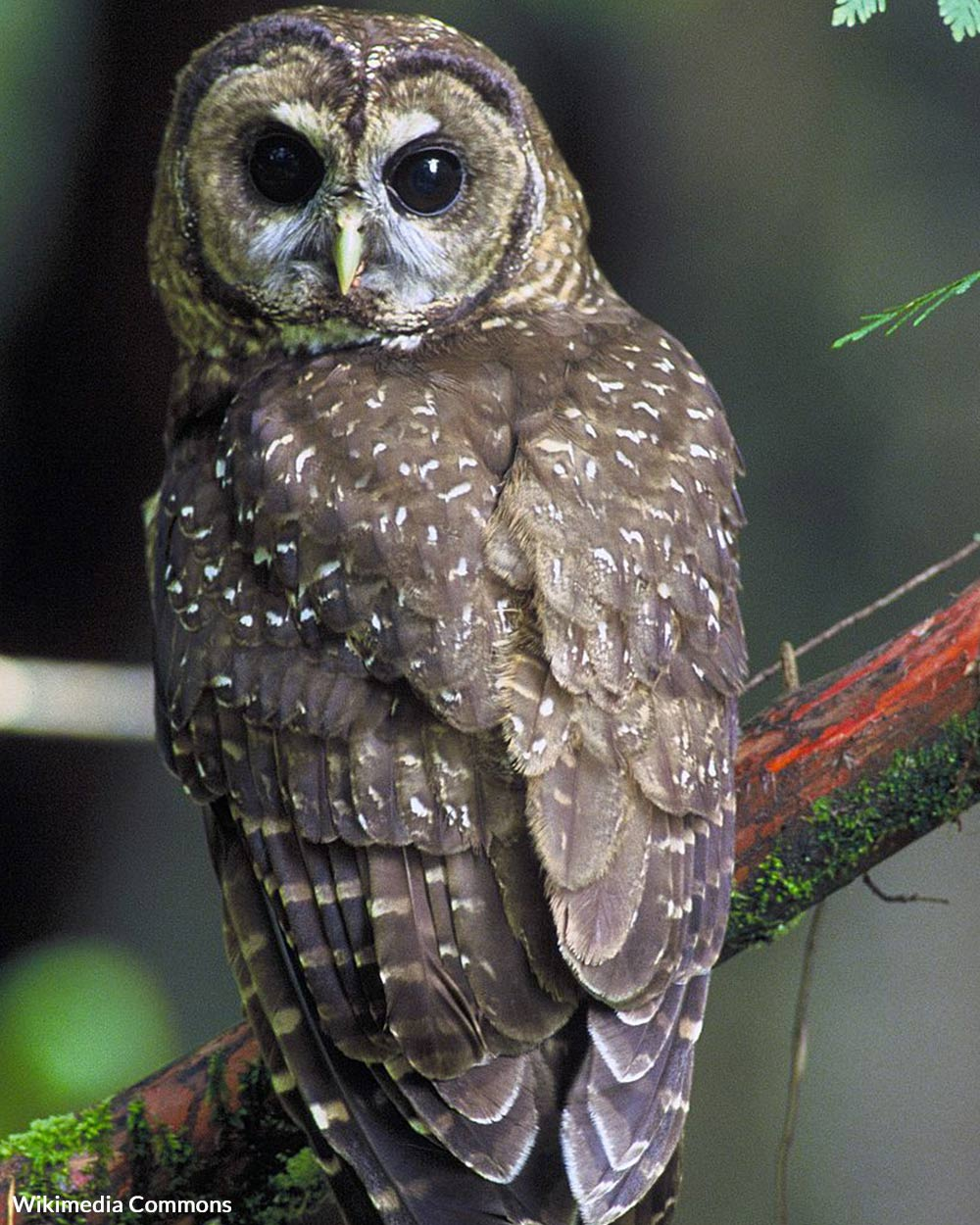 Spotted owls are small birds, and vulnerable to habitat loss.