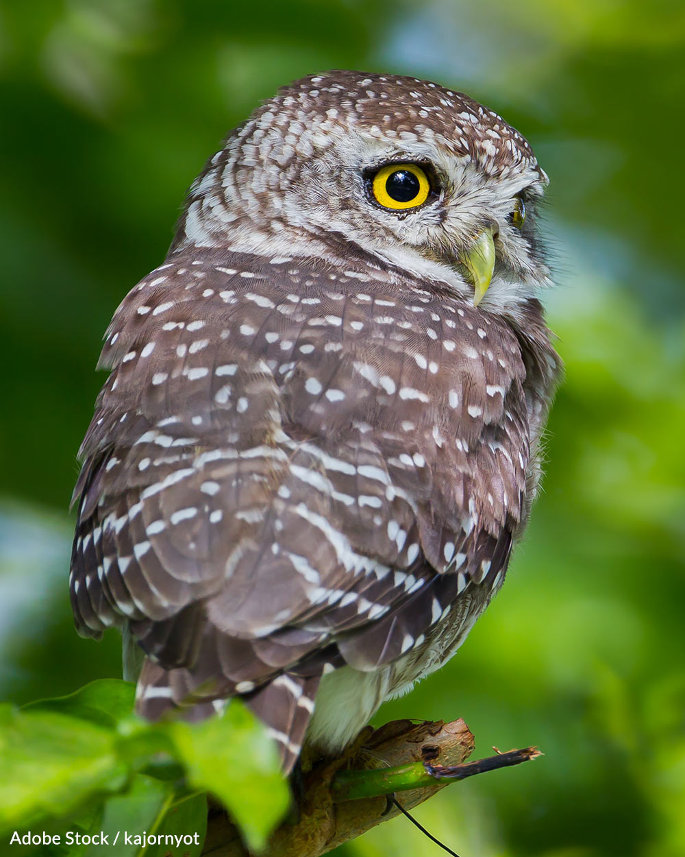 Spotted owls are not large birds.