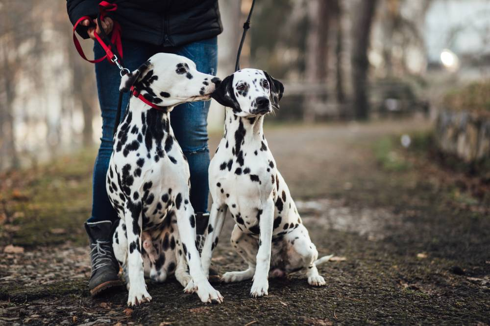Two Dalmatians out on a walk
