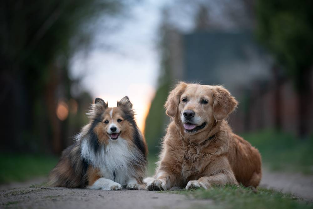 Two dogs laying on path at sunset