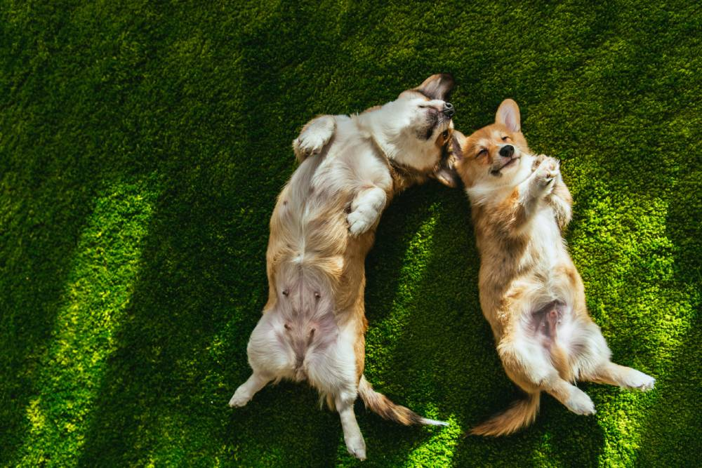 Two dogs laying belly-up in the grass