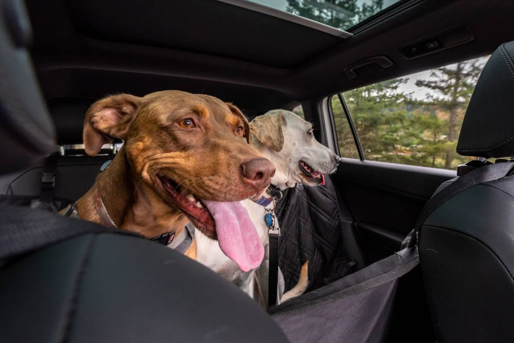 Two dogs traveling in a car