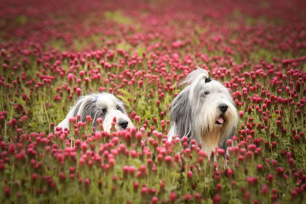 Two dogs in flowery field