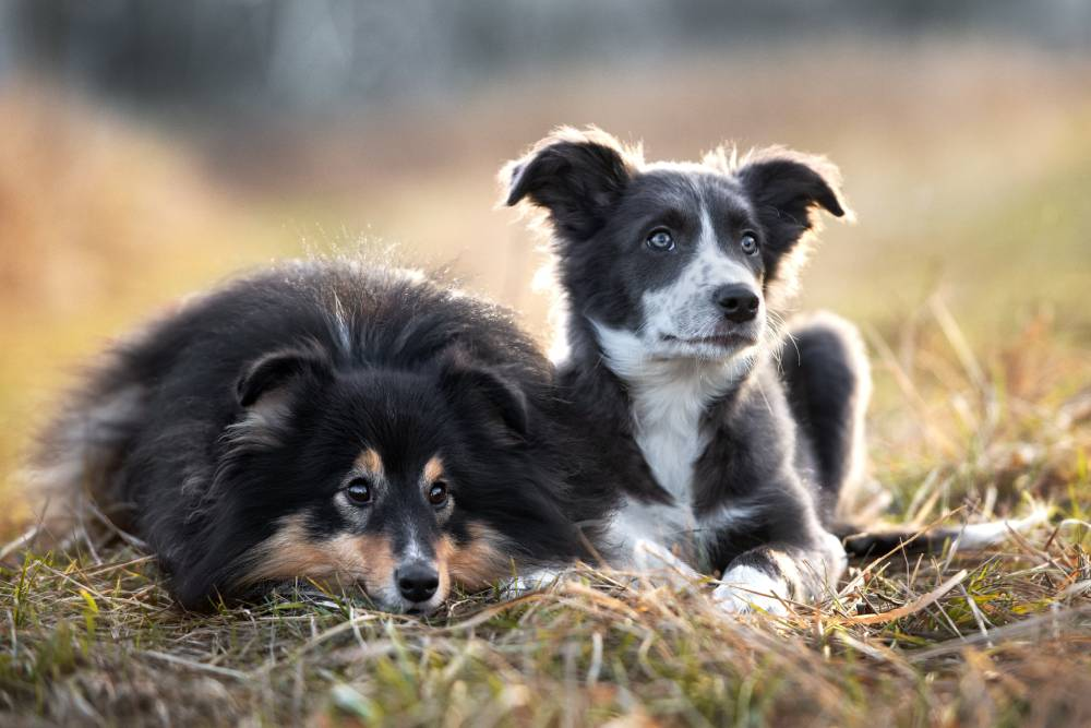 Two dogs laying in grass