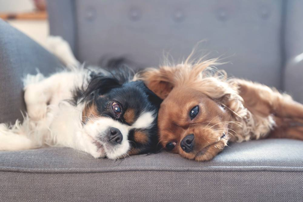 Two dogs laying on the sofa together