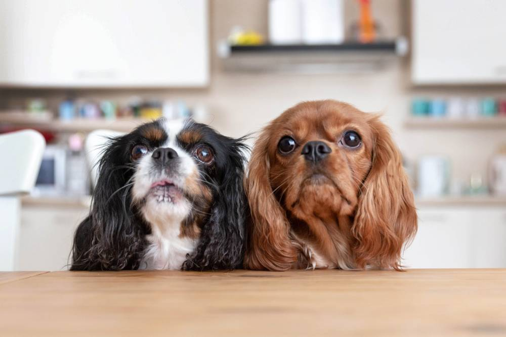 Two wide-eyed dogs sitting at table