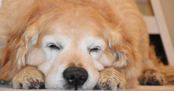 Cat Finds Perfect Napping Spot Tucked Under Dog's Ear