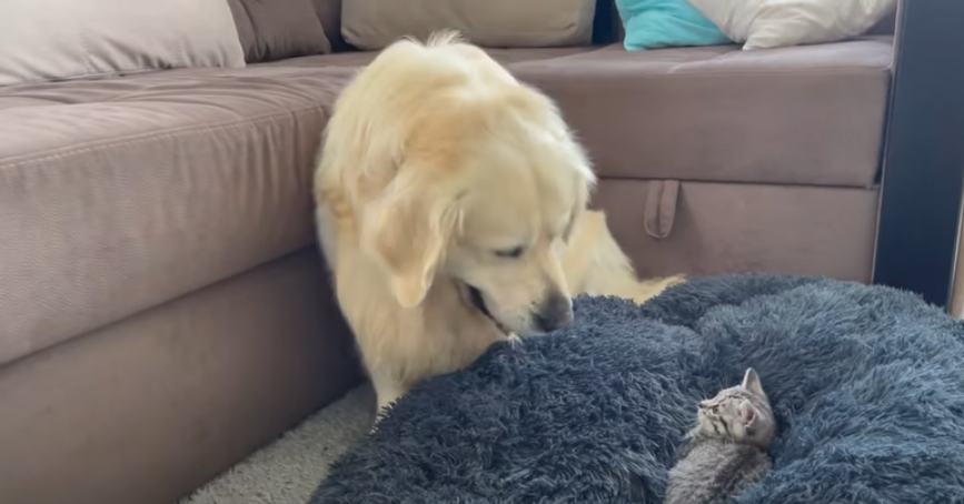 Golden Retriever Doesn't Know What To Do When Tiny Kitten Crawls Into His Bed