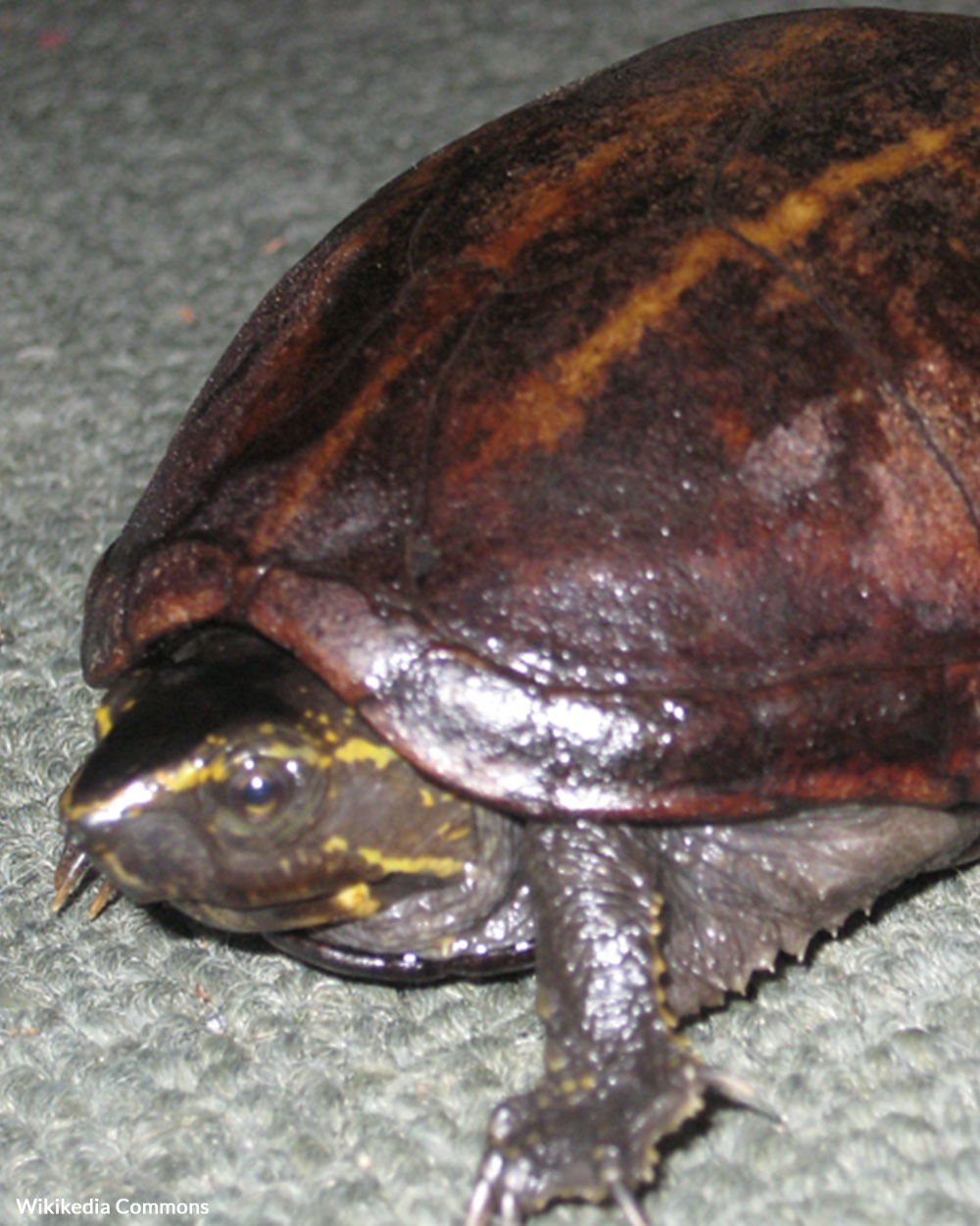 One of the turtle species the Lizard King's network collected was the three-striped mud turtle.