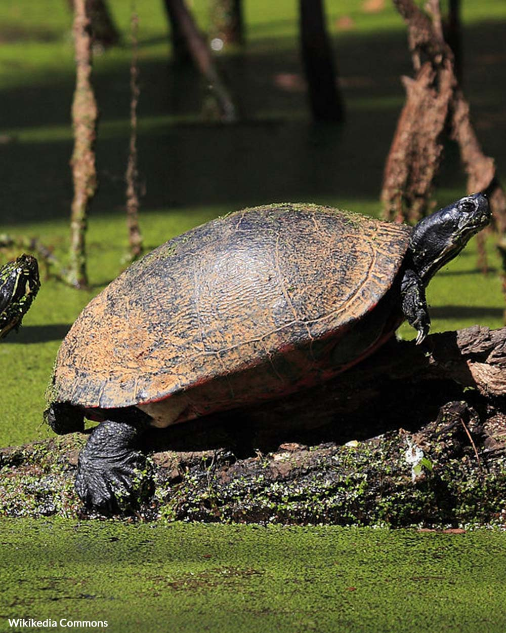 Freshwater turtles sell for high prices overseas.